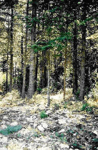 La cédraie reconstitue un écosystème forestier sur l'étage méso-méditerranéen (Luberon)