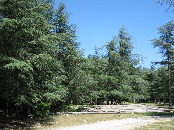 Cèdres au Luberon