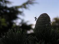 Parasitisme Cedrus_Megastigmus2