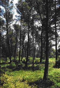 La pinède à pin d'Alep, un écosystème pionnier transitoire de l'étage thermo méditerranéen (Alpiles)