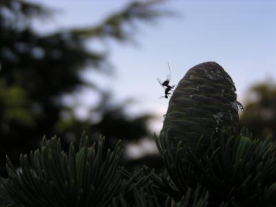 Parasitisme  Cedrus Megastigmus