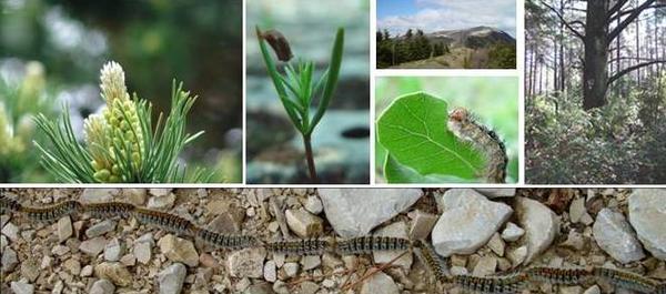 Processionnaire du pin, forêt méditerranéenne, graines, sites ateliers