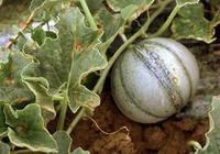 Symptôme de bactériose dans les melonnières