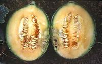 Symptom of bacterial blight on cantaloupe fruit