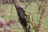 Bacterial canker caused by Pseudomonas syringae on apricot tree