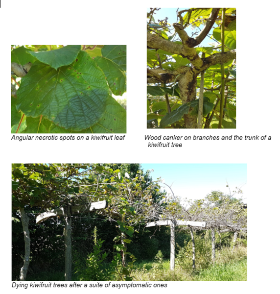 Bacterial canker on kiwifruit, caused by several strains from the Pseudomonas syringae complex