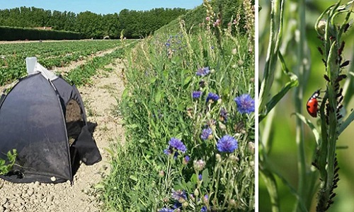 Flower strip composed of plant species selected to boost biological control in melon crop and interception trap used to assess the fluxes of aphid predators from the field margin to the crop