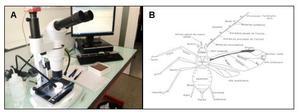Identification taxonomique des pucerons (A) sous stéréomicroscope, (B) sur la base des critères morphologiques à l'aide de plusieurs clés dichotomiques