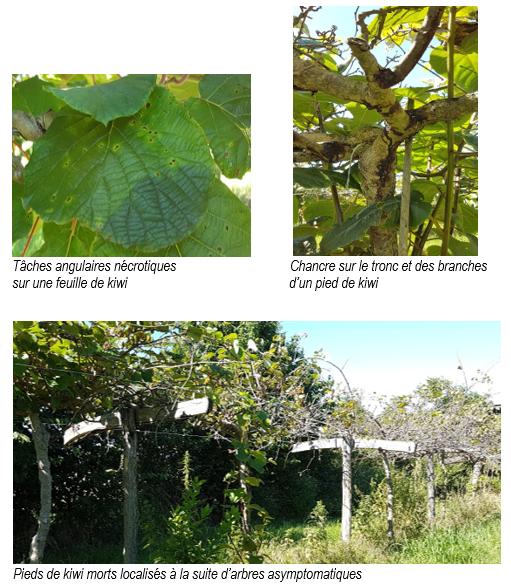 Maladie du chancre bactérien sur kiwi, causée par des souches du complexe d'espèces Pseudomonas syringae
