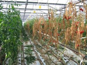 Dégâts de Botrytis cinerea sur cultures de tomate sous serre
