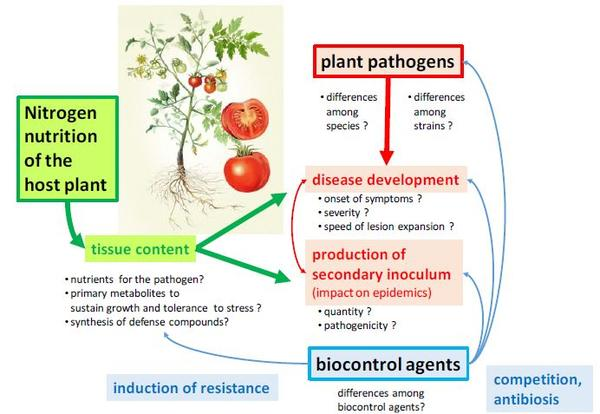 Possible effects of nitrogen nutrition of tomato on the development and control of grey mold caused by Botrytis cinerea