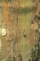 Chancre coloré du platane. Aspect caractéristique de la marge d'un chancre coloré sur un tronc de platane : veines d'un bleu violet mêlé d'orange, quelquefois interrompues en pointillés. © André Vigouroux. Photothèque INRA (9025-0004)