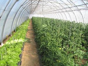 Caractérisation des populations de Botrytis cinerea entre espèces végétales cultivées