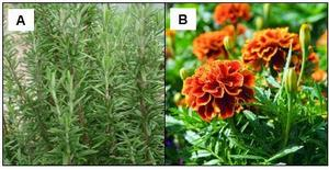 Aromatic plants repellent towards aphids : (A) rosemary (Rosmarinus officinalis), (B) French marigold (Tagetes patula nana)