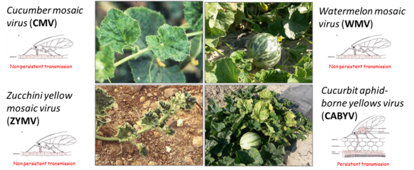 Open field melon crops frequently infected by four aphid-borne viruses