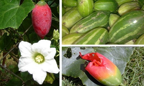 Desbiez, C., Millot, P., Wipf-Scheibel, C., Dafalla, G., Lecoq, H. (2021). Detection and complete genome sequence of a divergent isolate of cucumber fruit mottle mosaic virus on Coccinia grandis in Sudan. Archives of Virology, 166, 1779-1782. DOI:10.1007/s00705-021-05038-6
