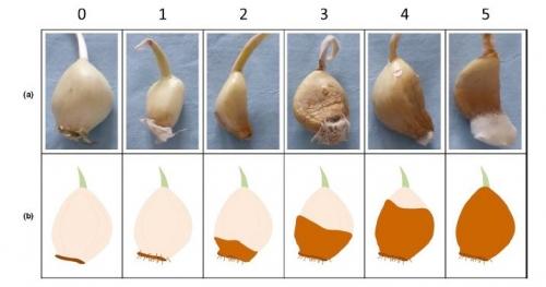 Chretien, P.L., Morris, C.E., Duffaud, M., Leyronas, C. (2021). Aetiology of garlic rot, an emerging disease in France. Plant Pathology, 70, 1276-1291. DOI:10.1111/ppa.13394