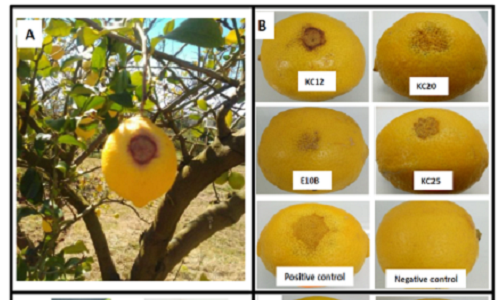 Oueslati, M., Mulet, M., Gomila, M., Berge, O., Hajlaoui, M. R., Lalucat, J., Sadfi-Zouaoui, N., García-Valdés, E. (2019). New species of pathogenic Pseudomonas isolated from citrus in Tunisia: Proposal of Pseudomonas kairouanensis sp. nov. and Pseudomonas nabeulensis sp. nov. Systematic and Applied Microbiology, 42, 348-359. DOI : 10.1016/j.syapm.2019.03.002