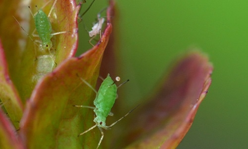 Dardouri, T., Gomez, L., Ameline, A., Costagliola, G., Schoeny, A. and Gautier, H. (2021). Non‐host volatiles disturb the feeding behavior and reduce the fecundity of the green peach aphid, Myzus persicae. Pest Management Science, 77, 1705-1713. DOI:10.1002/ps.6190