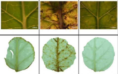 Michel, V., Julio, E., Candresse, T., Cotucheau, J., Decorps, C., Volpatti, R., Moury, B., Glais, L., Dorlhac de Borne, F., Decroocq, V., German-Retana, S. (2018). NtTPN1 : a RPP8 -like R gene required for Potato virus Y-induced veinal necrosis in tobacco. Plant Journal, 95 (4), 700-714 DOI : 10.1111/tpj.13980