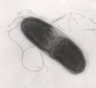 Morris, C. E., Lamichhane, J. R., Nikolic, I., Stanković, S., Moury, B. (2019). The overlapping continuum of host range among strains in the Pseudomonas syringae complex. Phytopathology Research, 1:4, 16 p. DOI : 10.1186/s42483-018-0010-6