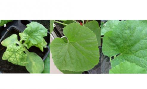Romay, G., Pitrat, M., Lecoq, H., Wipf-Scheibel, C., Millot, P., Girardot, G., Desbiez, C. (2019). Resistance against melon chlorotic mosaic virus and tomato leaf curl New Delhi virus in melon. Plant Disease, 103, 2913-2919. DOI: 10.1094/PDIS-02-19-0298-RE