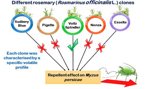 Dardouri, T., Gomez, L., Schoeny, A., Costagliola, G., Gautier, H. (2019). Behavioural response of green peach aphid Myzus persicae (Sulzer) to volatiles from different rosemary (Rosmarinus officinalis L.) clones. Agricultural and Forest Entomology, 21 (3), 336-345. DOI : 10.1111/afe.12336