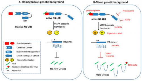 Gallois, J.-L., Moury, B., German-Retana, S. (2018). Role of the genetic background in resistance to plant viruses. International journal of molecular sciences, 19 (10), 2856. , DOI : 10.3390/ijms19102856