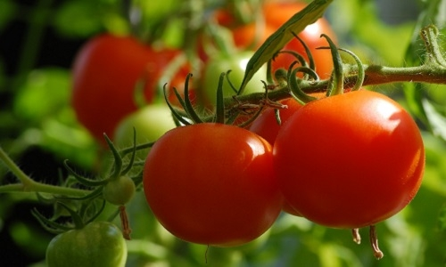 Bouaoud, Y., Troulet, C., Foughalia, A., Berge, O., Aissat, K., Bardin, M.  (2018). A multi-criteria approach for the selection of efficient biocontrol agents against Botrytis cinerea on tomato in Algeria. BioControl, BioControl, 63 (2), 299-311. DOI : 10.1007/s10526-017-9851-7