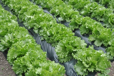 Desbiez, C., et al. (2017). Molecular and biological characterization of two potyviruses infecting lettuce in southeastern France. Plant Pathology, 66, 970-979