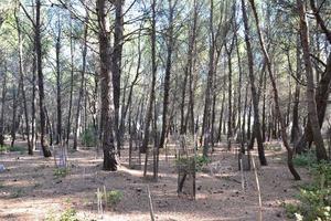 Plantation sous couvert dense de pin avec peu de sous-bois
