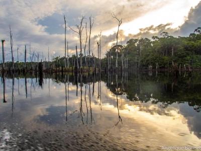 La mise en eau du barrage de Petit-Saut a ennoyée 365 km2 de forêt primaire. Plus de 25 ans après, les arbres semblent être dans un bon état de conservation et la retenue se compose de nombreuses zones de forêts ennoyées.  (A. Bonnet, 16/10/2019)