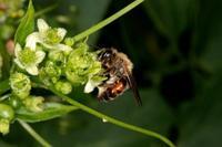 Andrena florea