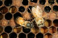 Abeilles avec varroa et avec ailes déformées
