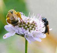 abeilles sauvages qui butinent sur une fleur