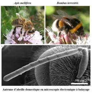 antenne d'abeille