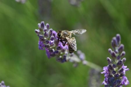 photo d'une abeille qui butine