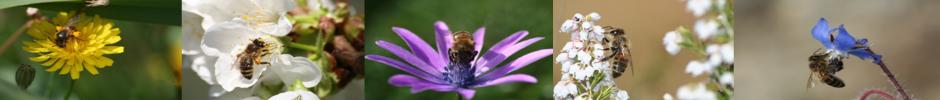 abeilles qui butinent