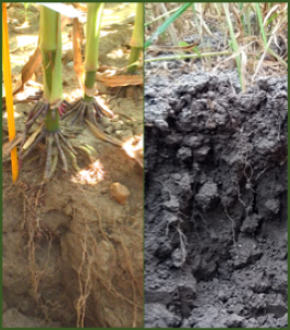 Photos de profil de sol et racines de mais (à gauche) et d'orge (à droite)