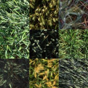 Différentes images de blé issues du