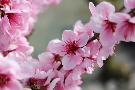 Fleur pecher simple