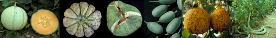 bandeau melons