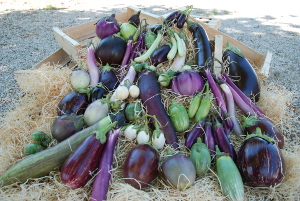 Diversité aubergines