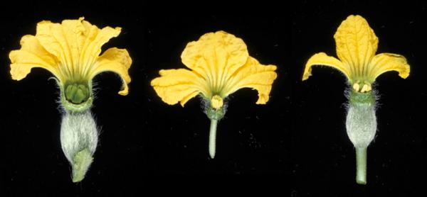 Fleurs femelles melon