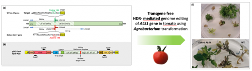 Efficient and transgene-free gene targeting
