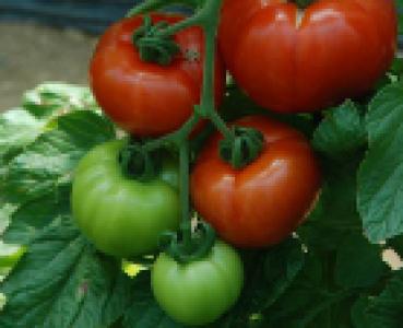Création variétale Légumes