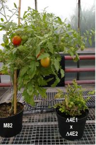Définir de nouvelles règles pour l'obtention de résistances efficaces aux virus chez la tomate