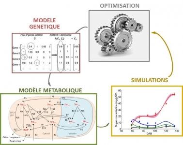 Schéma décrivant le couplage d'un algorithme d'optimisation avec le modèle du métabolisme des sucres permettant la définition d'idéotypes respectant les contraintes génétiques (Bénédicte Quilot-Turion)