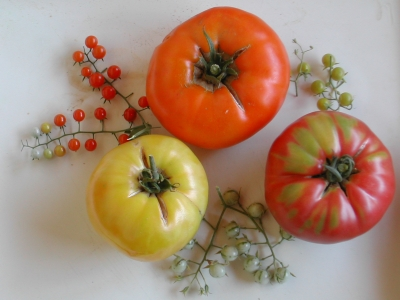 The INRA tomato germplasm collection