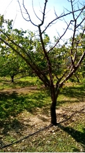 Resistance to bacterial canker in apricot: dream or reality?
